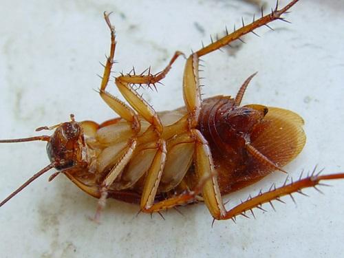 Как навсегда избавиться от тараканов народными средствами?