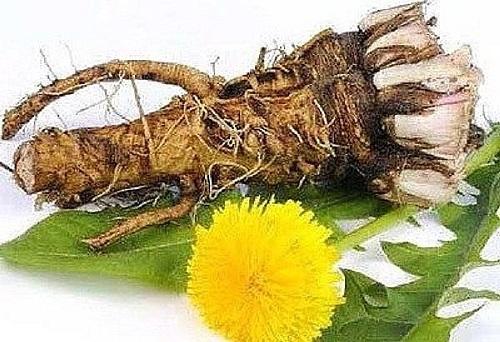 Лечебные свойства злостного сорняка одуванчика