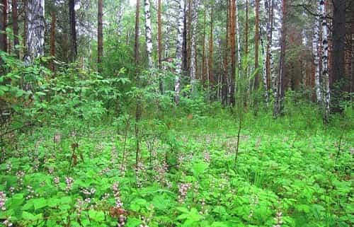 Borovaya matka v lesu