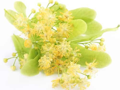 Lipovyj cvet: lechebnye svojstva i protivopokazaniya