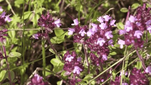 CHabrec - poleznye svojstva i protivopokazaniya