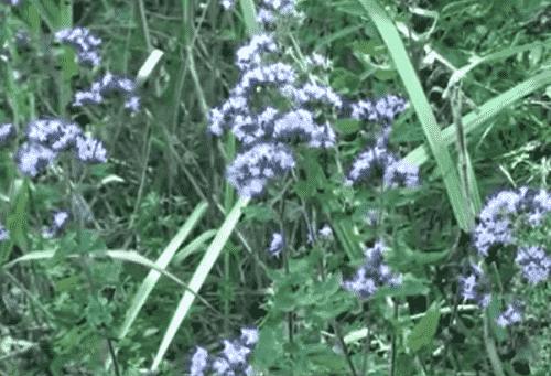 Trava dushica lechebnye svojstva i protivopokazaniya