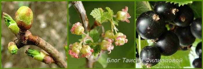 Черная смородина - полезные свойства и противопоказания ягод и листьев