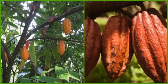 Kak rastut kakao-boby